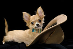 Chihuahua puppy with hat Royalty Free Stock Photography