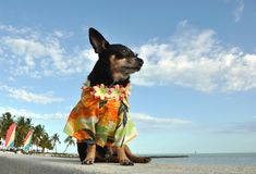 Chihuahua Puppy In Hawaiian Shirt Stock Photography