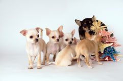 Chihuahua puppy is with her mother stock image