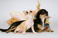 Chihuahua puppy is with her mother Royalty Free Stock Image