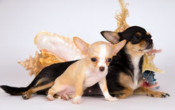 Chihuahua puppy is with her mother Stock Photos
