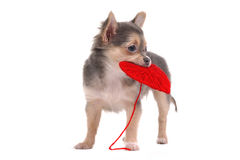 Chihuahua puppy holding red heart Royalty Free Stock Image