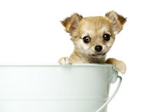 Chihuahua Puppy ia a big blue bucket Royalty Free Stock Image