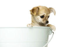 Chihuahua Puppy ia a big blue bucket Royalty Free Stock Photography