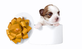 Chihuahua puppy inside of gift box with gold bow. Chihuahua puppy inside of gift box with golden bow on white background Stock Images