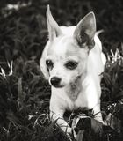 Chihuahua Puppy Intent on Rest. Monochrome ground level shot of a Chihuahua puppy lying in the grass looking just off camera with an intense expression royalty free stock image
