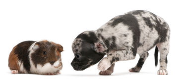 Chihuahua puppy interacting with a guinea pig. In front of white background Royalty Free Stock Photography
