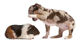 Chihuahua puppy interacting with a guinea pig. In front of white background Stock Photography