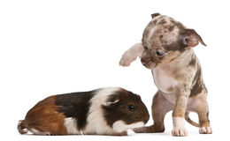 Chihuahua puppy interacting with a guinea pig. In front of white background Stock Images