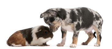 Chihuahua puppy interacting with a guinea pig. In front of white background Stock Photo
