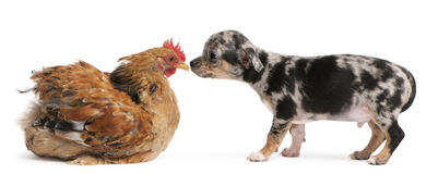Chihuahua puppy interacting with a hen. In front of white background Stock Photography