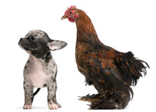 Chihuahua puppy interacting with a hen Royalty Free Stock Photo