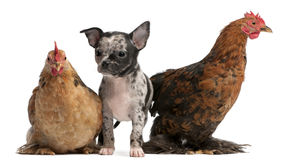 Chihuahua puppy interacting with a hens. In front of white background Royalty Free Stock Photos
