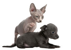 Chihuahua puppy interacting witha Sphynx kitten. Chihuahua puppy, 10 weeks old, interacting with a Sphyx kitten, 8 weeks old, in front of white background Stock Images