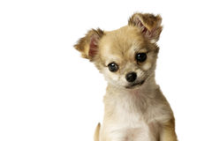 Chihuahua Puppy isolated on white royalty free stock photos