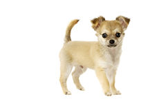 Chihuahua Puppy isolated on white Stock Photos