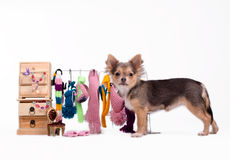 Chihuahua puppy and its clothes Royalty Free Stock Image