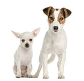 Chihuahua puppy and Jack Russell Terrier, next to each other Stock Images