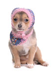 Chihuahua Puppy With Jeans Scarf and Cap Stock Images