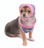 Chihuahua Puppy With Jeans Scarf and Cap Royalty Free Stock Photos