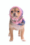 Chihuahua Puppy With Jeans Scarf and Hat Royalty Free Stock Photo