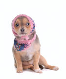 Chihuahua Puppy With Jeans Scarf and Scarf Stock Photography