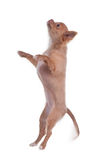 Chihuahua puppy jumping Stock Photo