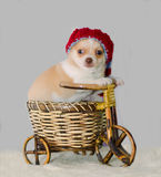 Chihuahua puppy in a knitted striped hat on a bicycle Stock Image