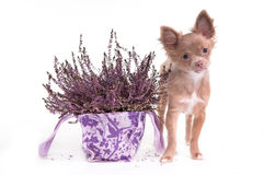 Chihuahua puppy and lavender flower Royalty Free Stock Photos
