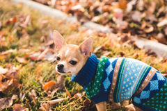 Chihuahua puppy in a lawn with leaves on it Royalty Free Stock Photo