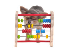 Chihuahua puppy is learning to count with Abacus. Cute three months old chihuahua puppy is learning to count with Abacus isolated on white background Stock Photos