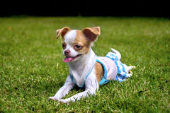 Chihuahua puppy Lie on the lawn Royalty Free Stock Photos