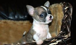 Chihuahua puppy Royalty Free Stock Photo