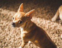 Chihuahua Puppy Looking Back Royalty Free Stock Photo