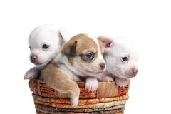 Chihuahua puppy looking out from basket Royalty Free Stock Photo