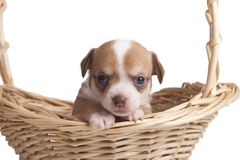 Chihuahua puppy looking out from basket Stock Photos