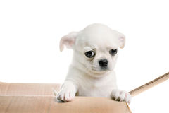 Chihuahua puppy looking out of the box. Isolated on white Stock Photos
