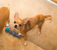 A chihuahua puppy looks up from its toy in a home kitchen setting. A young and cute chihuahua puppy looks up from a place mat in a home kitchen, next to another Stock Images