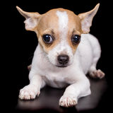 Chihuahua puppy lying on a black background Stock Photography