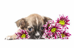 Chihuahua puppy lying down with colorful flowers Royalty Free Stock Images