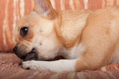 Chihuahua puppy lying on sofa, 4 months old female Royalty Free Stock Image