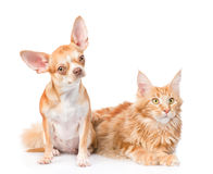 Chihuahua puppy and maine coon cat together. isolated on white Stock Image