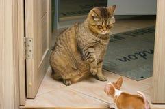 Chihuahua puppy mini against cat stock photo