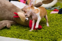 Chihuahua puppy mini royalty free stock image