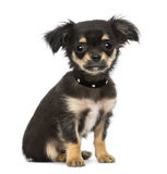 Chihuahua puppy (3 months old) Stock Image