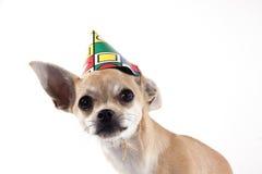 Chihuahua Stock Photos