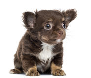 Chihuahua Puppy, 2 months old, sitting and looking up Royalty Free Stock Photo