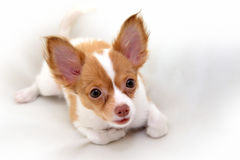 Chihuahua puppy. My lovely Chihuahua puppy lying on white cloth Stock Photo
