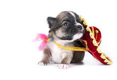 Chihuahua puppy with native festive Mexican hat. Three weeks old Chihuahua puppy with native festive Mexican hat on white background royalty free stock photos