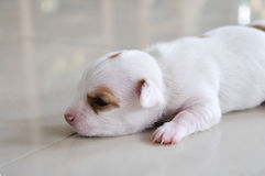 Chihuahua puppy. Newborn crawling on the floor Stock Image